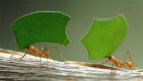 نمل يحمل بعض الأعشاب لمقره لتخزينها كغذاء لاحق