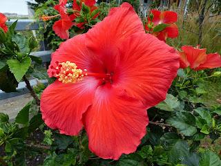 Hibiscus divers - Hibiscus non identifiés