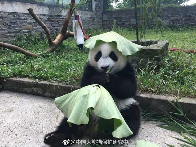 Pandas in SW China rock tailor-made hats to stay cool this summer