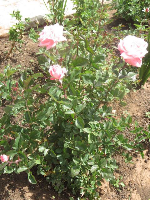 Es duftet im ganzen Garten nach Rosen