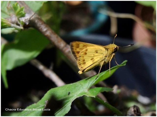 """Saltarina leonada (o amarilla)"" Hylephila phileus phileus - Marcos L para Chacra Educativa St. Lucía"