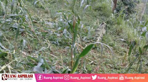 Monyet Menyerang Tanaman, Petani di Desa Taman Sari Situbondo Terancam Gagal Panen
