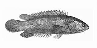 Mengenal Sistematika, Habitat dan Morfologi Ikan Betok (A. testudineus)