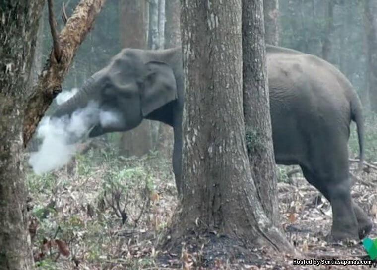 Gajah 'Merokok' Membingungkan Saintis India