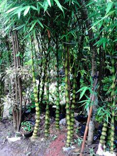pohon bambu nagin