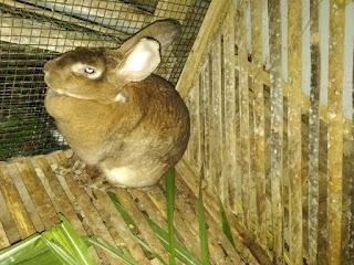 gambar hewan ternak kelinci