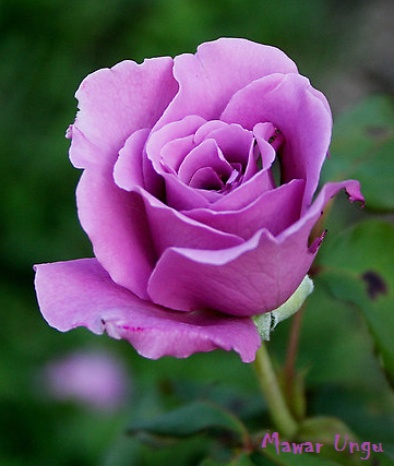 46 Ide Bunga Mawar Ungu Gambar Bunga
