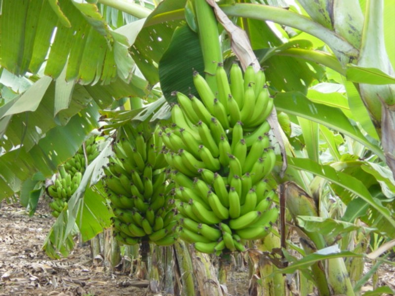 #Banana-nanica