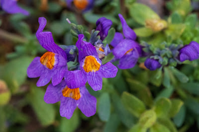 [Plantaginaceae] Linaria alpina – Alpine Toadflax (Linajola alpina)