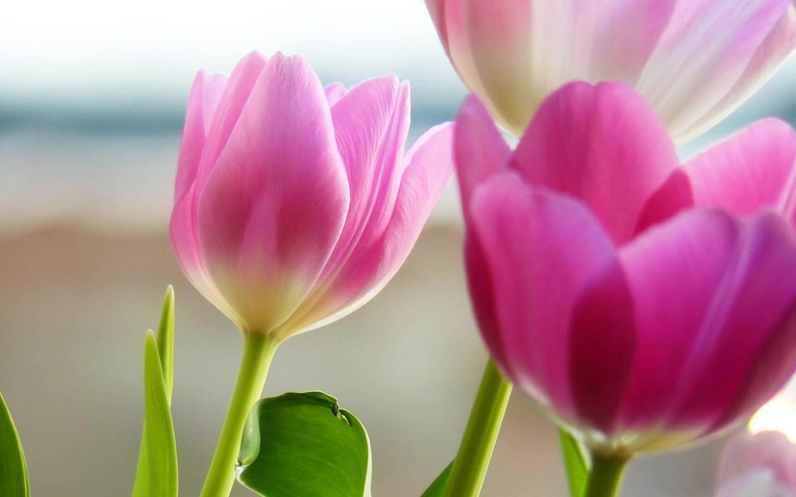 Wallpapers: Purple Tulips Flowers Wallpapers