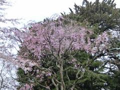 妙本寺の枝垂れ桜