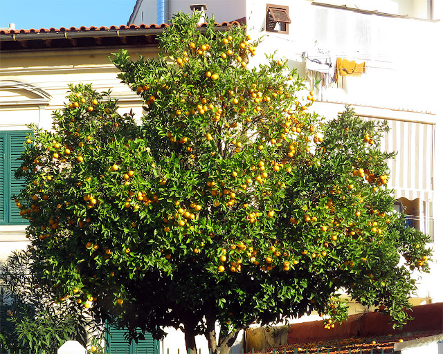 Orange tree, Viale Petrarca, Livorno