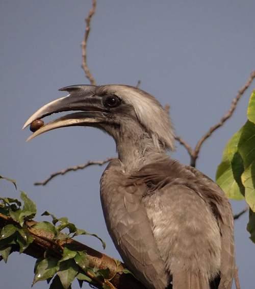Photo of Indian grey hornbill - Ocyceros birostris