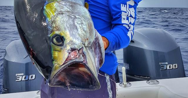 in the spread yellowfin tuna fishing videos