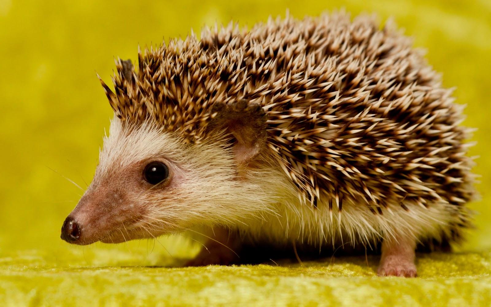 Animales Raros: El Erizo Común