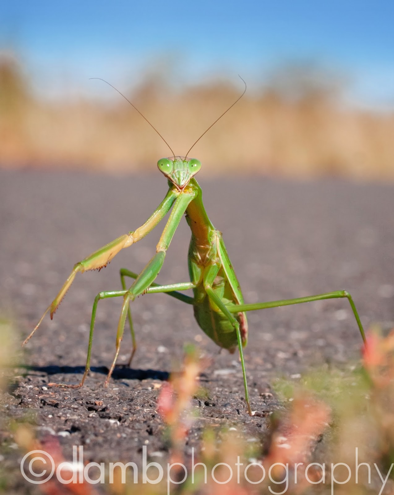 http://david-lamb.artistwebsites.com/featured/-praying-mantis-macro-david-lamb.html