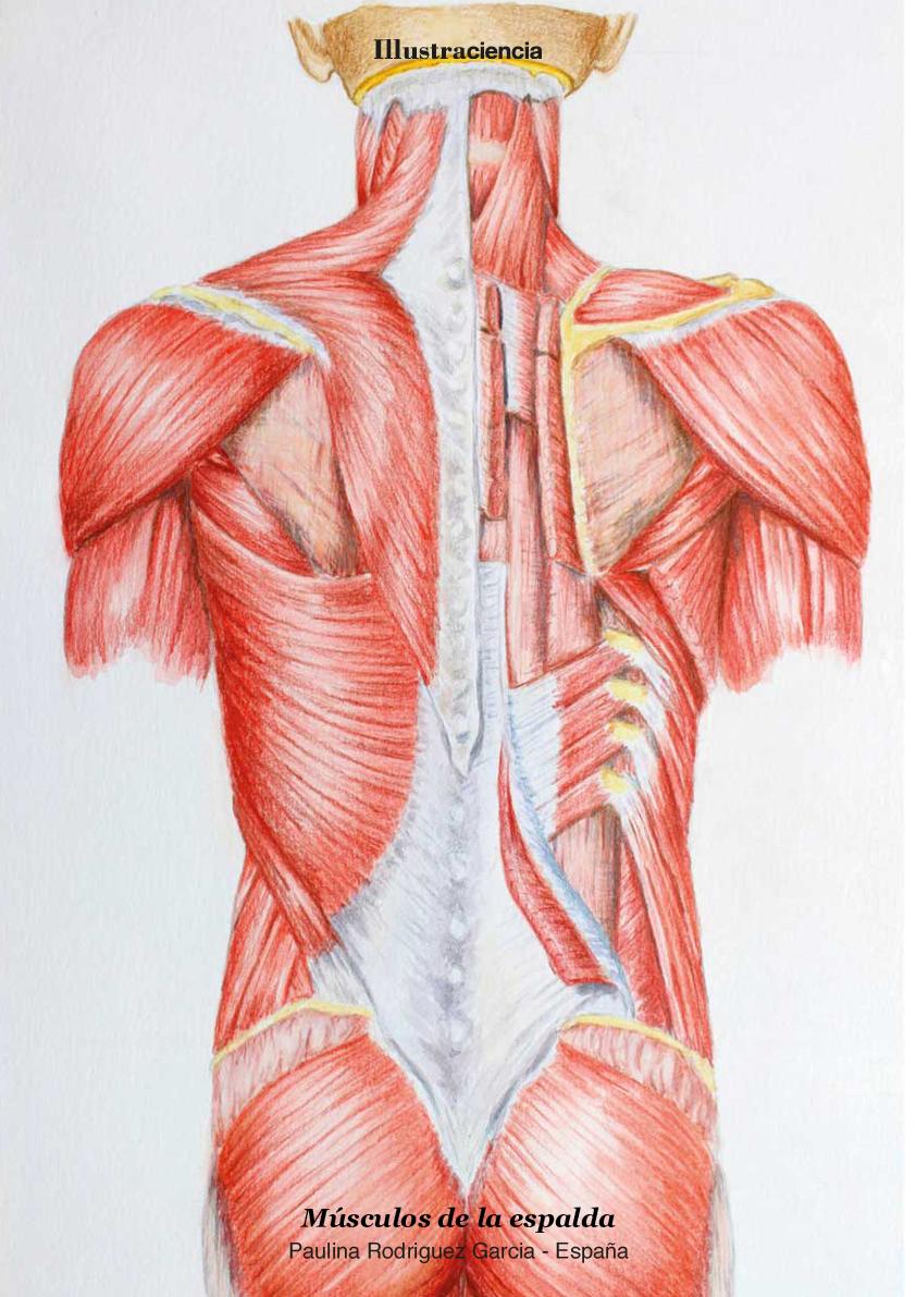 Músculos de la Espalda - Paulina Rodriguez Garcia
