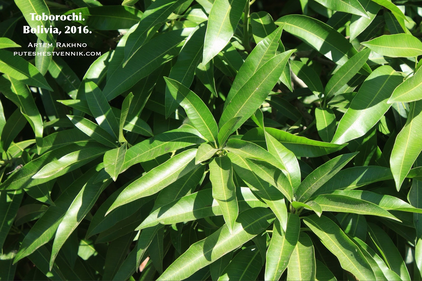 Листья манго