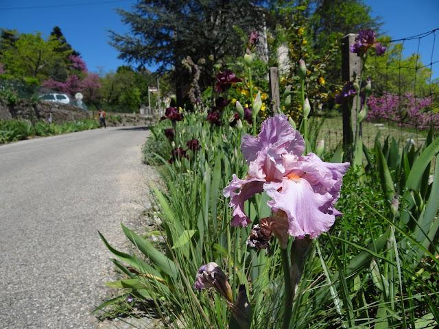 Floraisons 2016 de nos grands iris barbus et Bilan - Page 2 DSC07157
