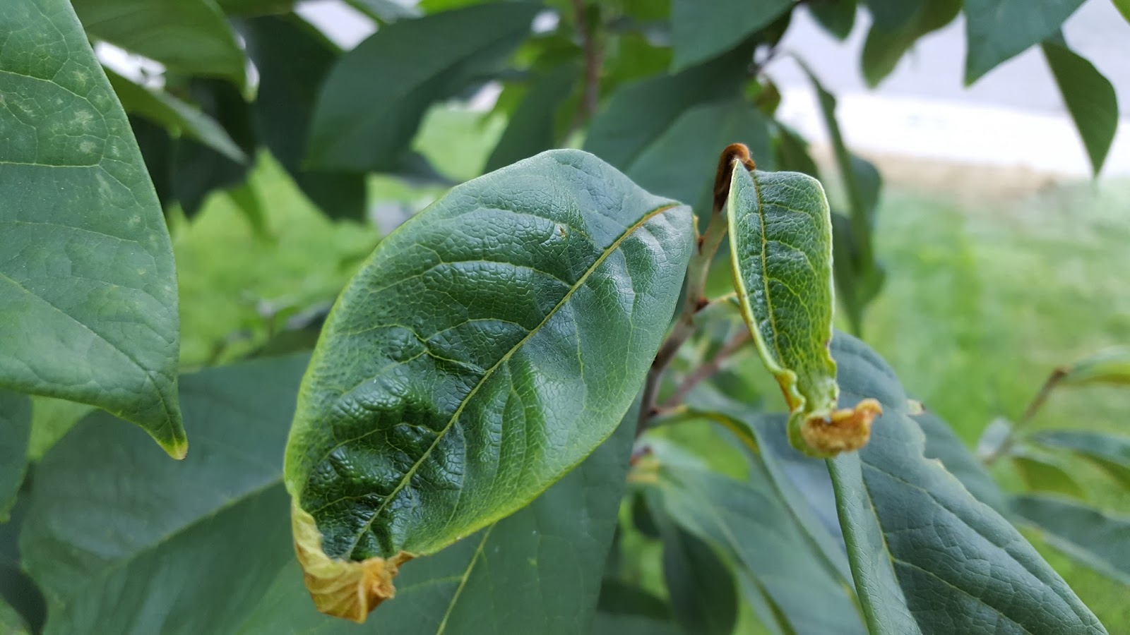 Asimina Triloba Leaf