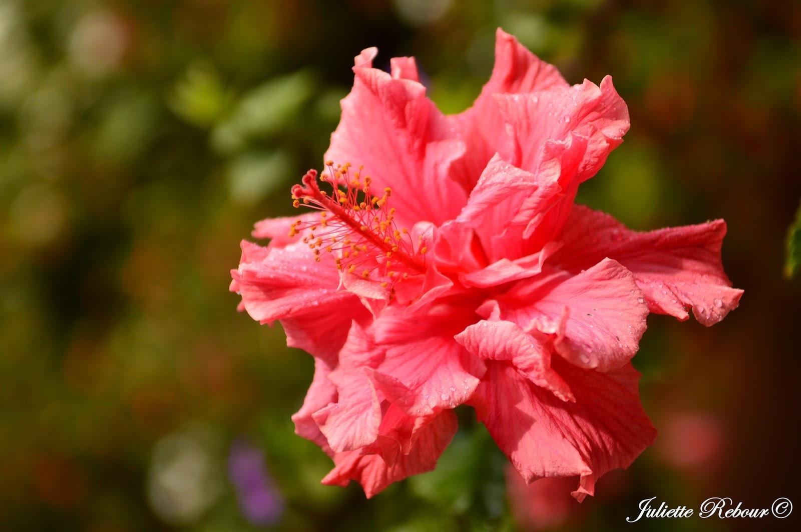 Hibiscus, Pérou