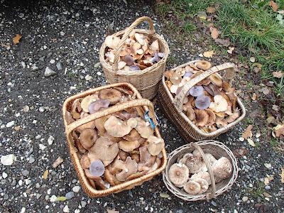 grzyby 2018, grzyby w październiku, grzyby w Puszczy Niepołomickiej, opieńki, gąsówki, czubajki, galaretnica, łycznik późny, grzyby nadrzewne, żylak promienisty, śluzowce, gładysz kruchy