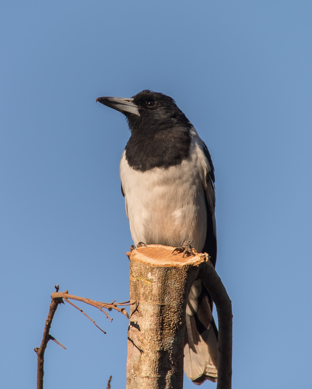 Picture of a  pied butcherbird.