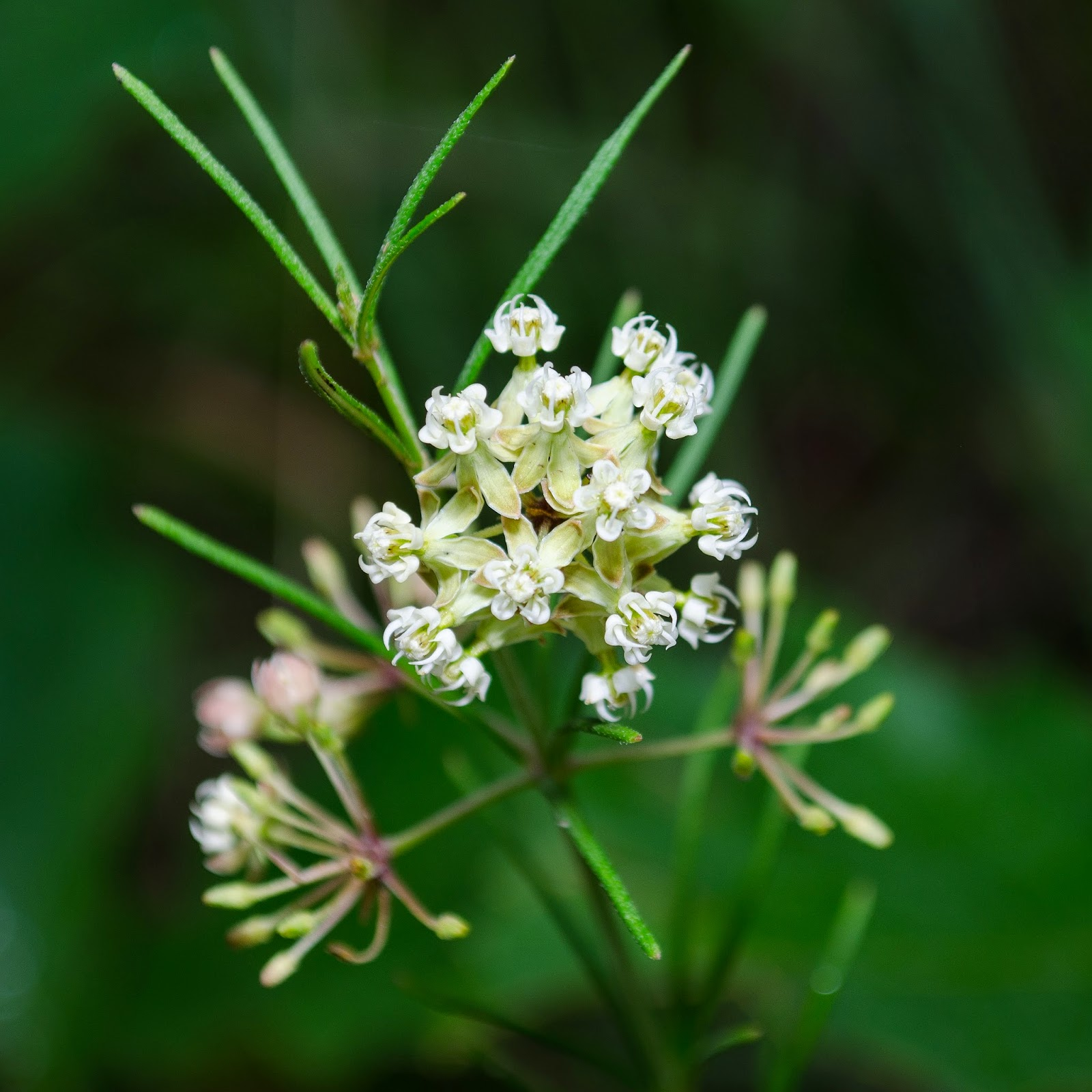 Whorled Milkweed, Asclepias verticillata
