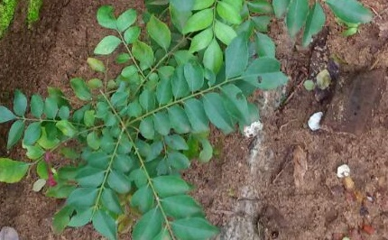 How To Prepare Healthy And Nutritious Curry Leaves Tea