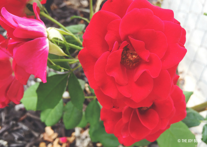 ROSES // A Bee Friendly Flower Bed - Update   www.thejoyblog.net
