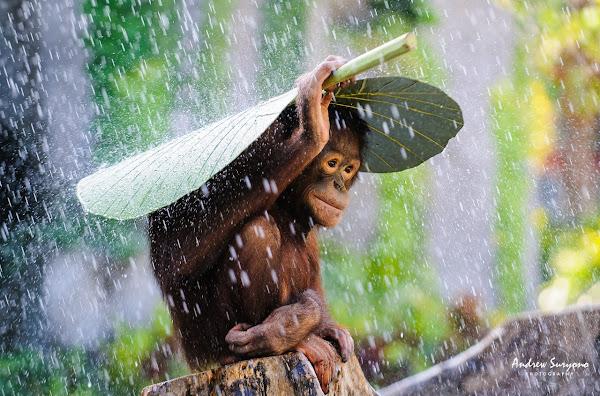 बारिश में बन्दर