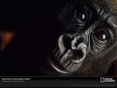 imagenes de caras de gorilas