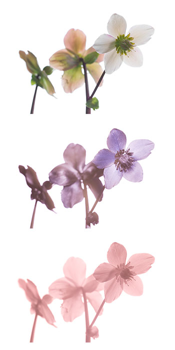 Photo of Helleborus niger (Christmas rose; Black hellebore) flowers photographed in visible light (top), ultraviolet (middle), and infrared (bottom)