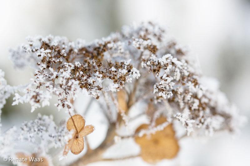 Samthortensie ist auch im Winter schön