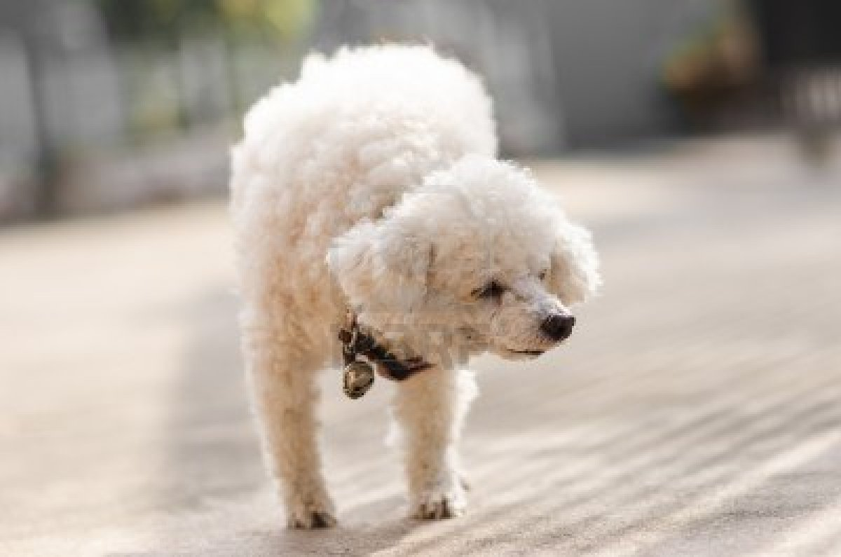 Cute Dogs Poodle Dog