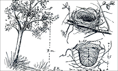 Reinamora grande Cyanocompsa brissonii