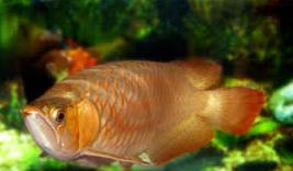 Ikan Hias Air Tawar Termahal ikan naga