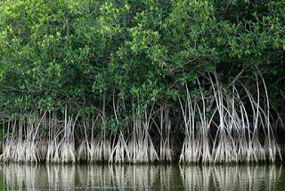Manfaat Hutan Bakau Mangrove Definisi Pengertian Secara Umum Adalah