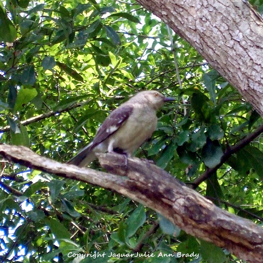 Adult Mockingbird Protective Behavior 7