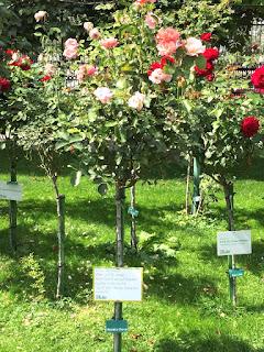 Wien: Wunderschöner Rosenstock im Rosengarten