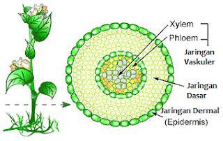 Jenis-jenis Jaringan Tumbuhan dan Fungsinya