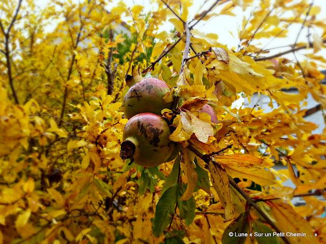 Grenadier & fruits en automne © Lune « Sur un Petit Chemin ... »