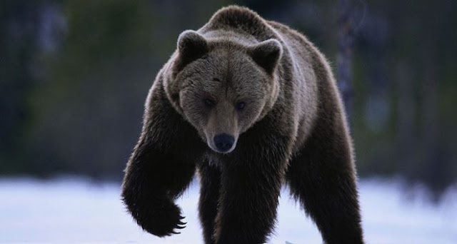 Donald Trump legaliza matar a osos y lobos cuando hibernan