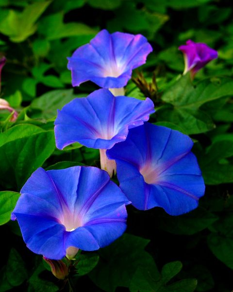 Pictures Of Flowers Morning Glory