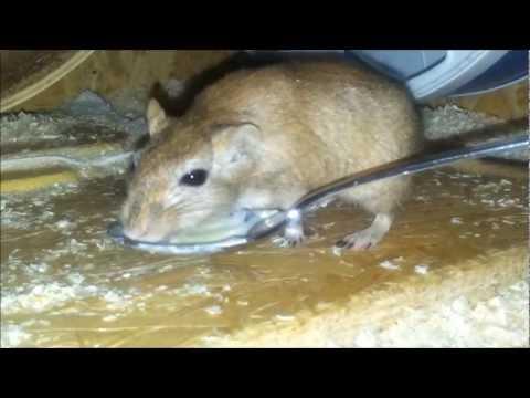 rata-comiendo-yogur ·conlosochosentidos.es