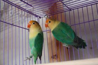 lovebird parblue standar hijau