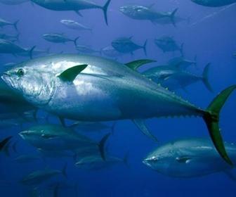 Ikan Tongkol channel488