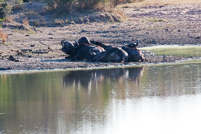 bufali kruger safari sud africa