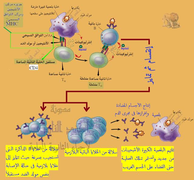 المناعة فى الإنسان - المناعة المكتسبة - خط الدفاع الثالث - المناعة الخلطية - الإفرازية - بالأجسام المضادة