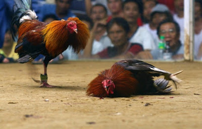 Pertarungan Adu Ayam